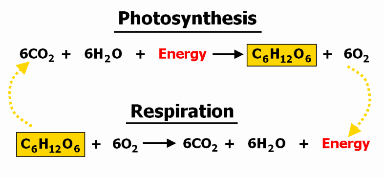 cellular respiration biology paper 16062018  a bbc bitesize secondary school revision resource for higher biology on respiration: introduction, stages of aerobic and anaerobic respiration, cells.
